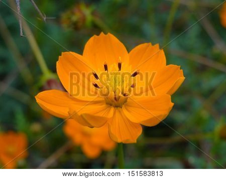 beautiful yellow flower on a blurred background, Bidens