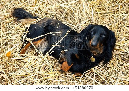 Black and Tan Long-Haired Dachshund Laying in a Bed of Straw in the garden  Relaxing in the sun, looking cute and in a whimsical pose for a portrait