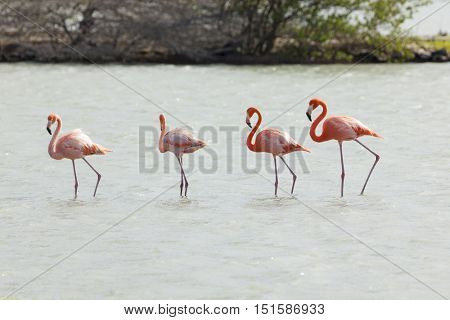 Group of four flamingos at Jan Kok Bay, Curacao