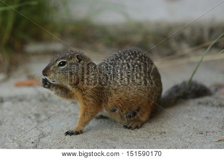nature, animals, fauna, mouse,ferret, small animals, rodents, Spermophilus, Citellus, genus of rodents of the squirrel family, Sciuridae