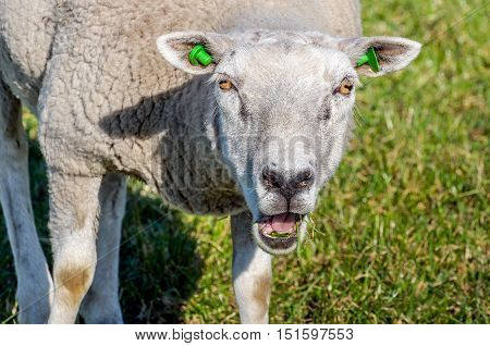 Portrait of an eating and bleating sheep with green earmarks from close on a sunny day in the beginning of the spring season in the Netherlands.