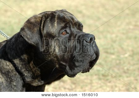 Bullmastiff Dog Head Portrait
