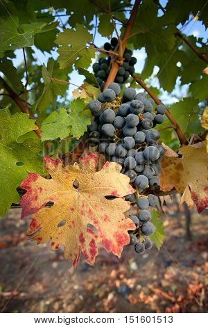 Processing and care of the vineyards of red and white wine in Bolgheri Tuscany