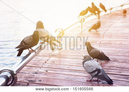 Close up of dove on bridge. High key , shallow depth of field , sunlight effect ,Vintage tone .