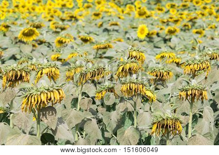 Wilted sunflowers field of the countryside farm.(Select focus)