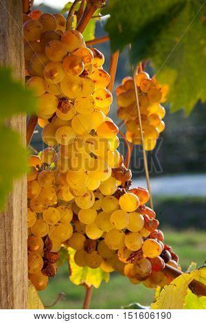 Processing and care of the vineyards of late grape to produce liqueur wines in Bolgheri Tuscany