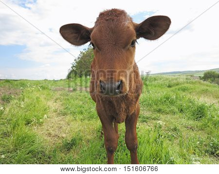 Beautiful Little Calf On The Green Sunny Meadow