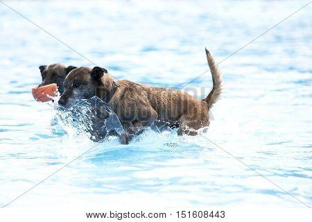 Two dogs in swimming pool Belgian Shepherd Malinois blue water