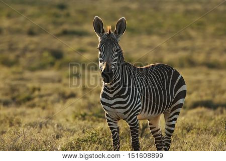 Mountain Zebra, Equus zebra, Karoo National Park, South Africa