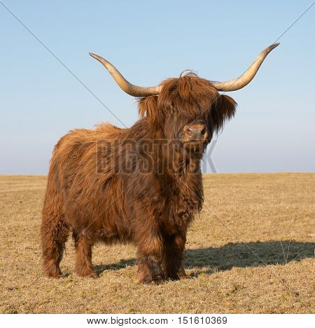 A cow of the cattle breed Highland cattle on pasture.
