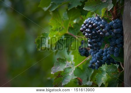 Processing and care of the vineyards of red and white wine in Bolgheri production in Tuscany