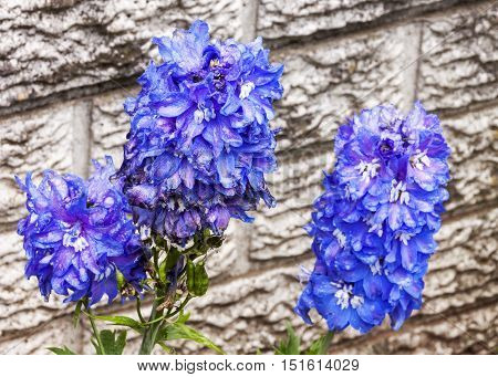 Three Rich Blue Delphinium Flowers Covered With Raindrops
