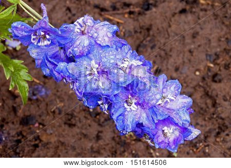Rain Covered Blue Delphinium Flower With Rich Soaked Soil