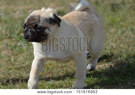 Cute pug dog walking gingerly on the grass.