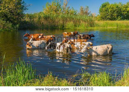 Cow herd having water treatment in summer Ukrainian river Merla
