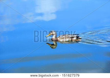 Yahara River reflects blue sky and white clouds. Relection shows Female Mallard duck as it glides across the vivid blue water.