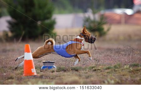 Dog Runs in the field of mechanical lure. Basenji dog runs across the field. At the dog wearing a muzzle and a T-shirt
