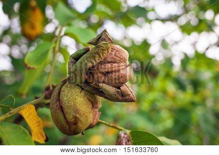 Walnut on a tree in green peel