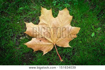 Dry autumn maple leaf on the green grass.