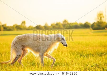 Wet White Russian Dog, Borzoi Walking In Summer Sunset Sunrise Meadow Or Field