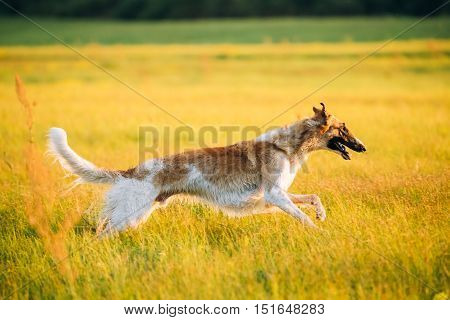 Wet Russian Dog, Borzoi Fast Running In Summer Sunset Sunrise Meadow Or Field
