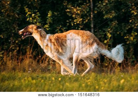 Russian Dog, Borzoi Fast Running In Summer Sunset Sunrise Meadow Or Field