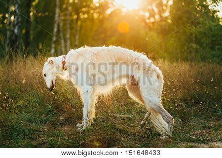 White Russian Dog, Borzoi In Summer Evening, Sunset Sunrise In Forest. Natural Dawn Sunlight