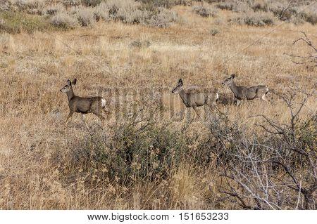 Three deer walking in the field near Winthrop Washington.
