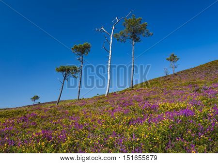 Lush purple and pink bell heather and verdant pine and spruce trees on Canford Heath Poole Dorset near Bournemouth