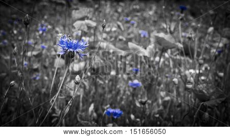 Deep blue cornflower wild flowers grow in a meadow of poppie and daisies. The colour has been bleached from all except the cornflower blue