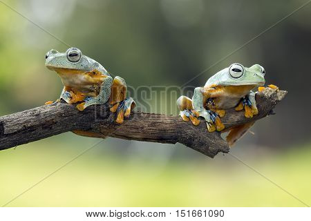 Tree frog, two Java tree frog on a twig