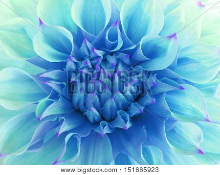 turquoise dahlia flower. Close-up. Macro. Nature. beautiful flower.