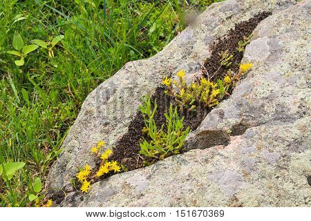 Yellow blooming goldmoss stonecrop (Sedum acre) flowers