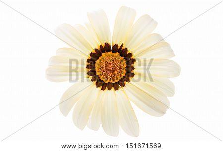 beautiful daisy gazania isolated on white background