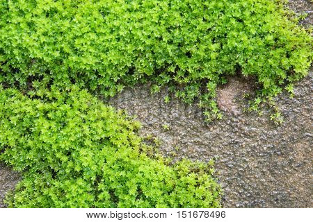 The Moss On The Walls Drip With Moisture For Background, Texture And Wall Paper.