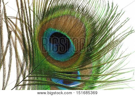 beautiful multi-colored and brilliant feather of the peacock's tail on a white isolated background