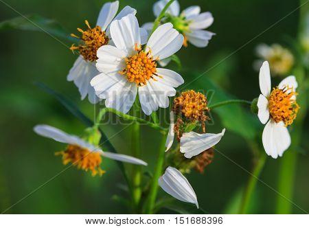 White grass flower wilted petals in sunlight.