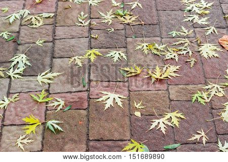 Background of fallen maple leaves on a footway lined with paving slabs in autumn cloudy day