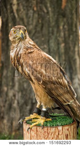 A brown and white feathered hawk, with yellow talons and rostrum, is sitting chained on a stump, with a dark brown tree in the background