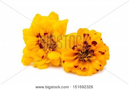 marigold orange  flower isolated on white background