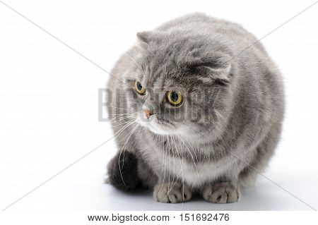 Fat cat closeup. Breed Scottish Fold. On the withe background.