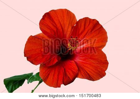 Red hibiscus flower with petals stamens and pistil on a light background tender