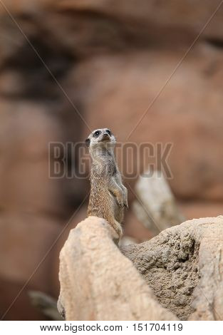 Meerkat Standing In The Stone And Controls Its Territory