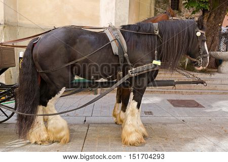 Gypsy Horse with white feather furs socks on the lower legs standing outside the buildings with horse drawn carriage straps on in Kitzbuhel, Austria