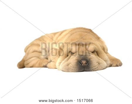 A young sharpei pup sleeping on the studio floor poster