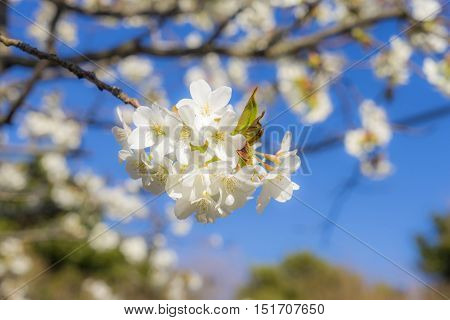 Beautiful cherry blossom sakura with blue sky