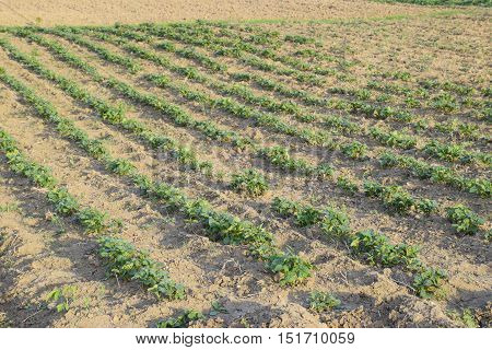 The Bed Young Shoots Of Potatoes. Growing Potatoes In The Garden. Potato Bed In The Garden
