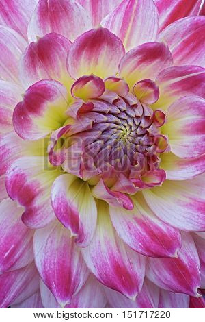 Dahlia flower (Dahlia x cultorum). Close up image of flower
