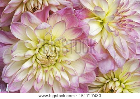 Dahlia flower (Dahlia x cultorum). Close up image of several flowers