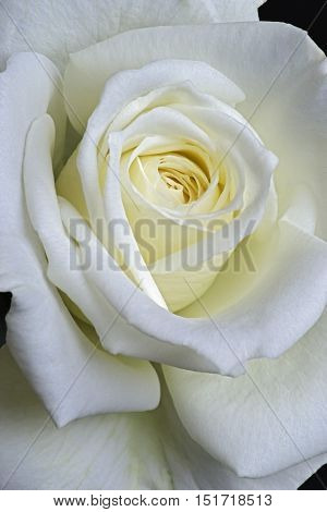 Close up image of hybrid rose flower (Rosa x hybrid)